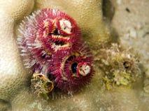 giganteus spirobranchus 免版税库存图片
