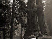 giganti della foresta Immagini Stock