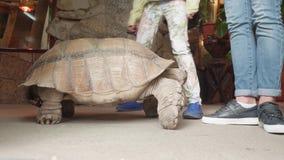 Giganti turtle moves near girls` legs. In exotarrium stock video