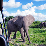 Gigantic african elephant in wild savanna(National park Chobe, B Royalty Free Stock Photography