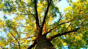 Gigantic ash tree. Ash tree in the forest Stock Photo