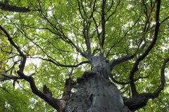Gigantic Beech Tree Stock Image