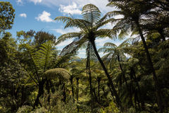 Gigantic black tree ferns Royalty Free Stock Photography