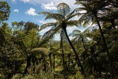 Gigantic black tree ferns Royalty Free Stock Photography