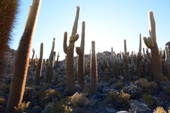 Gigantic cacti at Isla Incahuasi. Salar de Uyuni. Potosí Department. Bolivia. Isla Incahuasi is a hilly and rocky outcrop of land and former island in Royalty Free Stock Photo
