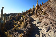 Gigantic cacti at Isla Incahuasi. Salar de Uyuni. Potosí Department. Bolivia. Isla Incahuasi is a hilly and rocky outcrop of land and former island in Bolivia Stock Photography