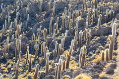 Gigantic cacti at Isla Incahuasi. Salar de Uyuni. Potosí Department. Bolivia. Isla Incahuasi is a hilly and rocky outcrop of land and former island in Royalty Free Stock Images
