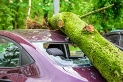 Gigantic fallen tree crushed parked car as a result of the severe hurricane winds in one of courtyards of Moscow. Gigantic fallen toppled tree covered with moss Royalty Free Stock Photo