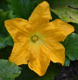 A Gigantic Flower of a Common Marrow Plant Royalty Free Stock Photography