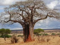 Gigantic green baobab. Giant baobab, baobab trunk close-up, trees in Africa, safari in Tanzania, savanna in Africa, old trees, beautiful tree, landscape in Stock Images