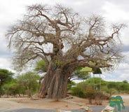 Gigantic green baobab Stock Image