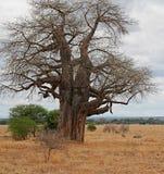 Gigantic green baobab Stock Photo