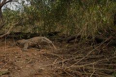 Gigantic komodo dragon in the beautiful nature habitat on a beautiful island in Indonesia. Komodo island, prehistoric creatures, rinca island, wildlife, wild Royalty Free Stock Photography