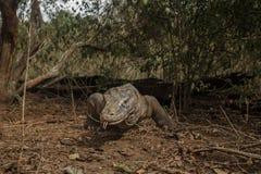 Gigantic komodo dragon in the beautiful nature habitat on a beautiful island in Indonesia Royalty Free Stock Photos