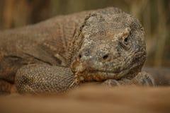 Gigantic komodo dragon in the beautiful nature habitat on a beautiful island in Indonesia Stock Images
