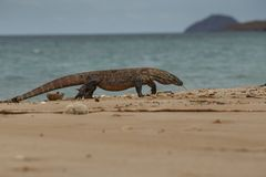 Gigantic komodo dragon in the beautiful nature habitat on a beautiful island in Indonesia Royalty Free Stock Photography