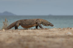 Gigantic komodo dragon in the beautiful nature habitat on a beautiful island in Indonesia. Komodo island, prehistoric creatures, rinca island, wildlife, wild Royalty Free Stock Photography