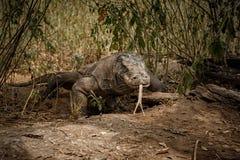 Gigantic komodo dragon in the beautiful nature habitat Royalty Free Stock Photo