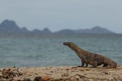 Gigantic komodo dragon in the beautiful nature habitat Royalty Free Stock Photos