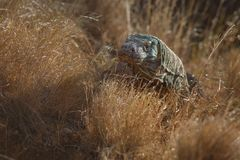 Gigantic komodo dragon in the beautiful nature habitat Royalty Free Stock Photography