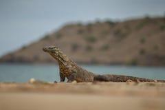 Gigantic komodo dragon in the beautiful nature habitat Stock Image