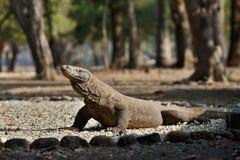 Gigantic komodo dragon in the beautiful nature habitat Stock Photos