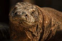 Gigantic komodo dragon in the beautiful nature habitat. On a beautiful island in Indonesia Stock Image