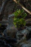 Gigantic komodo dragon in the beautiful nature habitat. On a beautiful island in Indonesia Royalty Free Stock Image