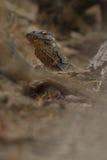 Gigantic komodo dragon in the beautiful nature habitat. On a beautiful island in Indonesia Royalty Free Stock Photo