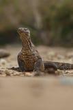 Gigantic komodo dragon in the beautiful nature habitat. On a beautiful island in Indonesia Stock Photos