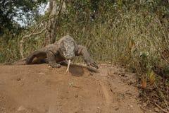 Gigantic komodo dragon in the beautiful nature habitat Royalty Free Stock Image