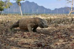 Gigantic komodo dragon in the beautiful nature habitat on a small island in Indonesian sea Stock Images