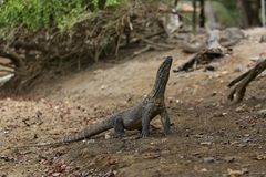 Gigantic komodo dragon in the beautiful nature habitat on a small island in Indonesian sea Stock Photo