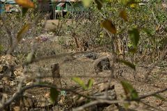 Gigantic komodo dragon in the beautiful nature habitat on a small island in Indonesian sea Royalty Free Stock Images