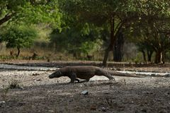 Gigantic komodo dragon in the beautiful nature habitat on a small island in Indonesian sea Royalty Free Stock Photos