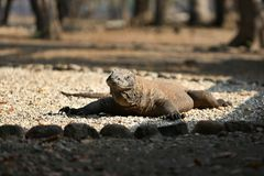 Gigantic komodo dragon in the beautiful nature habitat on a small island in Indonesian sea Royalty Free Stock Photography