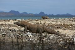 Gigantic komodo dragon in the beautiful nature habitat on a small island in Indonesian sea. Varanus komodoensis, very dangereous wild animals, prehistoric Royalty Free Stock Photography