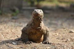 Gigantic komodo dragon in the beautiful nature habitat on a small island in Indonesian sea Stock Photography