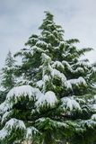 Gigantic pine tree covered with snow, winter holiday concept. Space for text Stock Photography