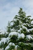 Gigantic pine tree covered with snow, winter holiday concept. Space for text Royalty Free Stock Image