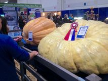 Free Gigantic Pumpkin On Agriculture Exhibition Stock Photo - 130920840
