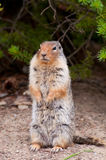 Gigantic rodent. Closeup of gigantic standing chipmunk standing still stock photo