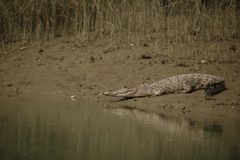 Gigantic salted water crocodile caught in mangroves of Sundarbans. In India, nature habitat in western bengal, indian wildlife royalty free stock photography