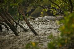 Gigantic salted water crocodile caught in mangroves of Sundarbans. In India, nature habitat in western bengal, indian wildlife stock photo