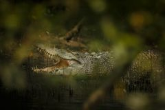 Gigantic salted water crocodile caught in mangroves of Sundarbans Stock Photo