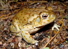 The gigantic Sonoran Desert Toad Royalty Free Stock Photo