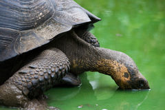 Gigantic tortoise drinks water from a puddle. The Galapagos Islands. Pacific Ocean. Ecuador. Stock Images