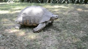 Gigantic turtle on a grass in Addis Ababa stock video footage