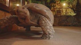 Gigantic turtle moves in exotarrium. Gigantic turtle moves on loor of exotarrium stock footage