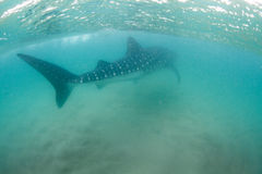 A gigantic whale shark swims peacefully away in the shallows Stock Photo